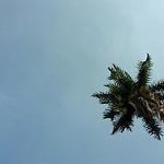 Pohon Palem Raja